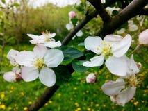 Manzana floreciente Imágenes de archivo libres de regalías