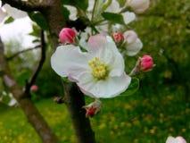 Manzana floreciente Foto de archivo