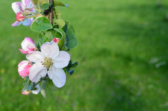 Manzana floreciente fotos de archivo libres de regalías