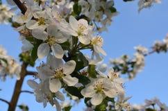 Manzana floreciente imagenes de archivo