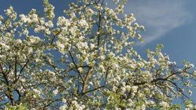 Manzana floreciente con las flores blancas hermosas Rama del manzano en la floración en la primavera en jardín de la sol metrajes