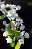 Manzana floreciente de la rama Fotografía de archivo