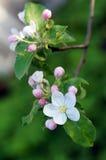 Manzana floreciente de la rama Imagenes de archivo
