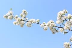 Manzana floreciente de la rama Foto de archivo