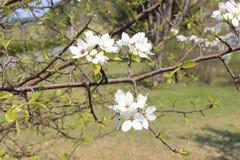 Manzana floreciente de la rama Imágenes de archivo libres de regalías