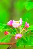 Manzana floreciente Jardín del resorte Fotos de archivo