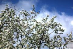 Manzana floreciente Jardín del resorte Fotografía de archivo libre de regalías