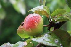 Manzana grande madura con gotas de la lluvia en el manzano Imagen de archivo libre de regalías