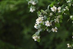 Manzana hermosa de las flores Fotografía de archivo libre de regalías