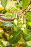 Manzana joven del anacardo Imagen de archivo