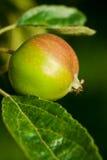 Manzana joven en la ramificación Imagen de archivo libre de regalías