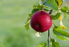 Manzana jugosa en el jardín Fotos de archivo