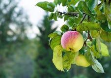 Manzana jugosa en el jardín Imagenes de archivo