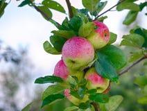 Manzana jugosa en el jardín Imágenes de archivo libres de regalías