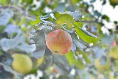 Manzana jugosa en una rama Fotos de archivo
