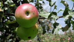 Manzana jugosa roja en el árbol almacen de metraje de vídeo