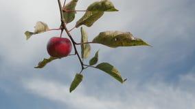 Manzana jugosa roja en el árbol metrajes
