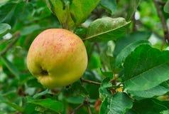 Manzana madura en la rama foto de archivo
