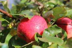 Manzana madura roja Imágenes de archivo libres de regalías