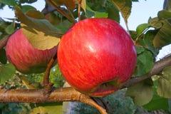 Manzana madura roja en el árbol Imágenes de archivo libres de regalías