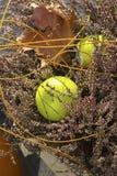 Manzana ornamental Fotografía de archivo libre de regalías