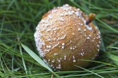 Manzana putrefacta con el molde en hierba Fotos de archivo