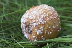 Manzana putrefacta con el molde en hierba Foto de archivo libre de regalías