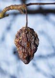 Manzana putrefacta en un árbol Fotos de archivo