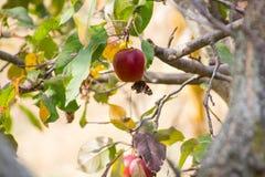 Manzana roja con una mariposa fotos de archivo