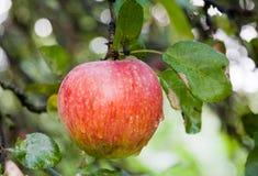 Manzana roja en árbol Foto de archivo libre de regalías
