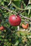 Manzana roja en el árbol Fotografía de archivo