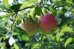 Manzana roja en la ramificación con la hoja verde Fotografía de archivo libre de regalías