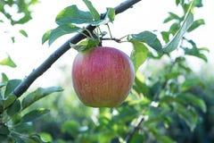 Manzana roja en la ramificación con la hoja verde Fotos de archivo