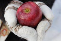 Manzana roja en manos fotos de archivo libres de regalías