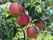 Manzana roja en rama de árbol verde Fotografía de archivo libre de regalías