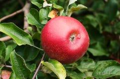 Manzana roja en un árbol Foto de archivo libre de regalías