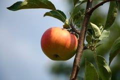 Manzana roja fresca en la rama Imágenes de archivo libres de regalías