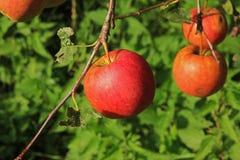 Manzana roja grande Imagen de archivo