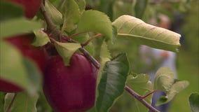 Manzana roja madura en una rama de árbol almacen de metraje de vídeo