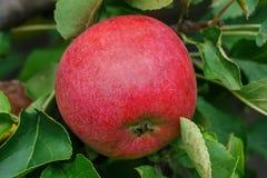 Manzana roja madura en una rama rodeada por las hojas verdes Fotografía de archivo libre de regalías