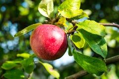 Manzana roja madura que crece en árbol Imagenes de archivo