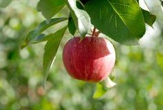 Manzana roja que crece en árbol Fotos de archivo libres de regalías