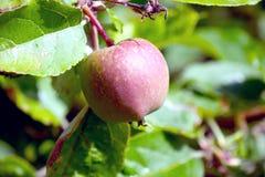 Manzana roja que crece en árbol Fotografía de archivo libre de regalías