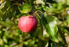 Manzana roja que crece en árbol Fotos de archivo