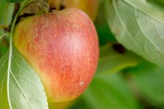 Manzana roja que crece en árbol Imagen de archivo libre de regalías