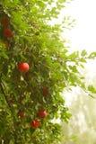 Manzana roja que crece en árbol. Productos naturales. Fotografía de archivo libre de regalías