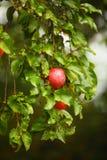 Manzana roja que crece en árbol. Productos naturales. Foto de archivo