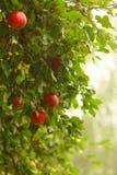 Manzana roja que crece en árbol. Productos naturales. Imagenes de archivo
