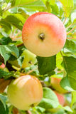 manzana Rojo-amarilla en un cierre de la rama para arriba Imagen de archivo libre de regalías