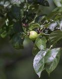 Manzana salvaje Foto de archivo libre de regalías
